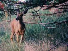 Red-Rocks-Park-deer
