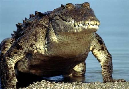 Un crocodile pétrifontain après le bain.