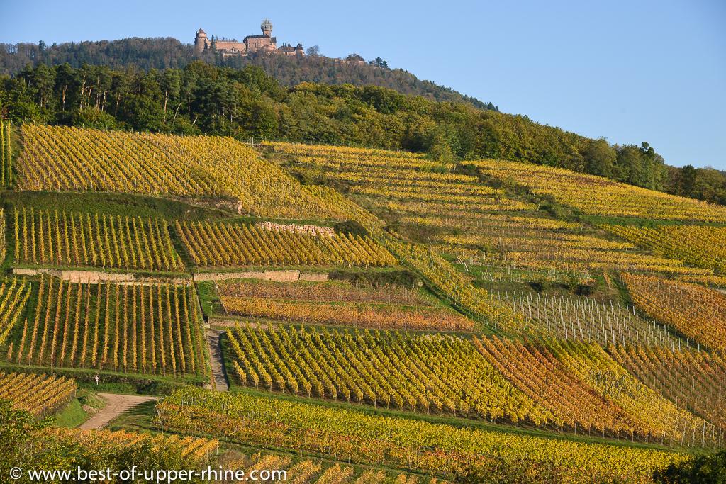 Vineyards on hills below the castle of Haut-Koenigsbourg