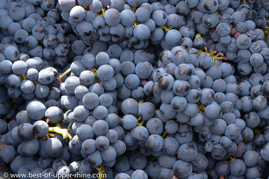 Pinot noir harvest near Andlau, Alsace