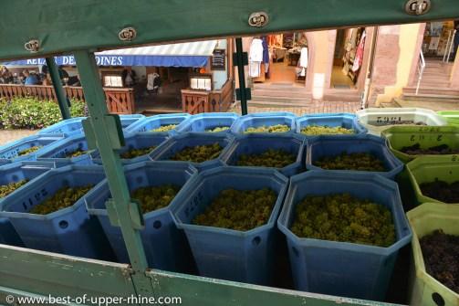 Grapes freshly picked in Riquewihr. Hugel Estate.