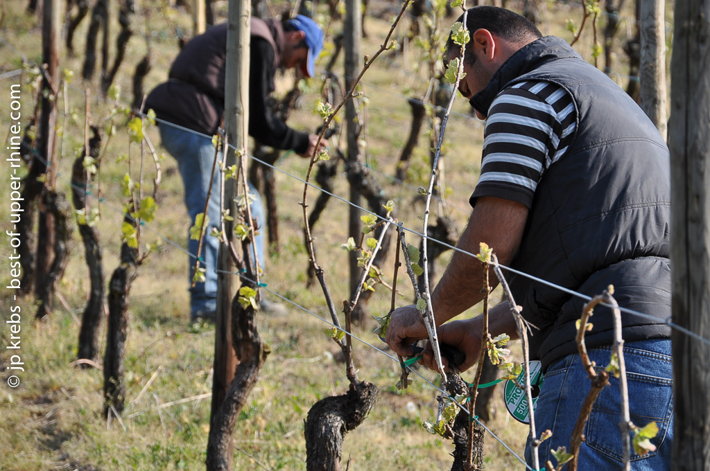 Cutting back the vines