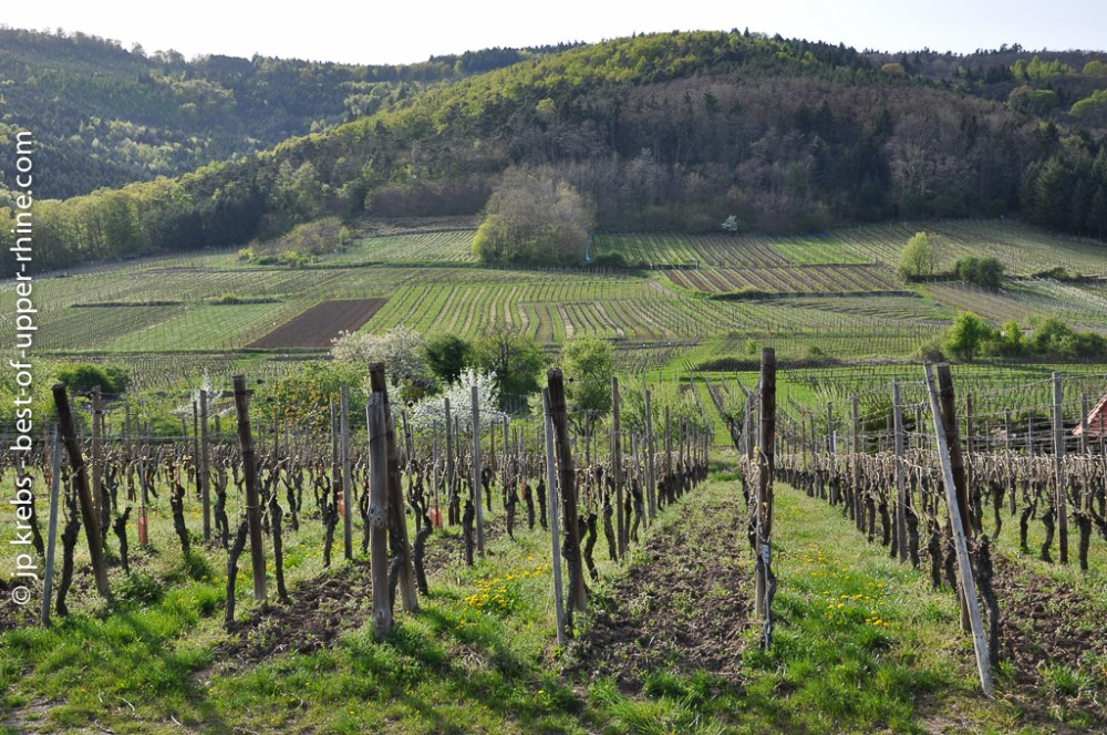 Vineyards in the early Spring