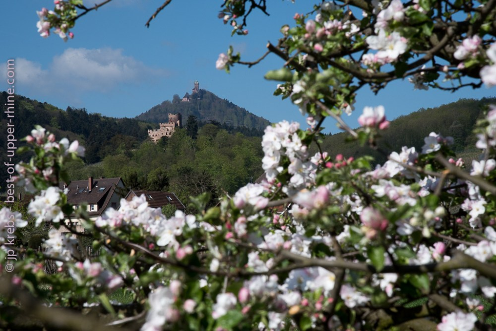 Medieval castles Kintzheim and Haut-Koenigsbourg, Alsace. Apple trees are blossoming on the Alsace wine route.