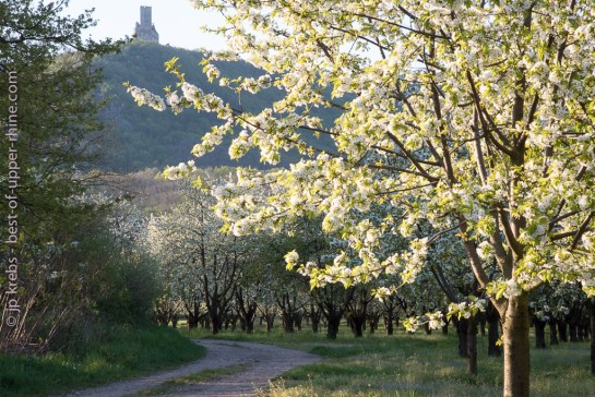 Medieval castle Ortenbourg, Alsace. Cherry trees are blossoming between Châtenois and Scherwiller on the Alsace wine route.