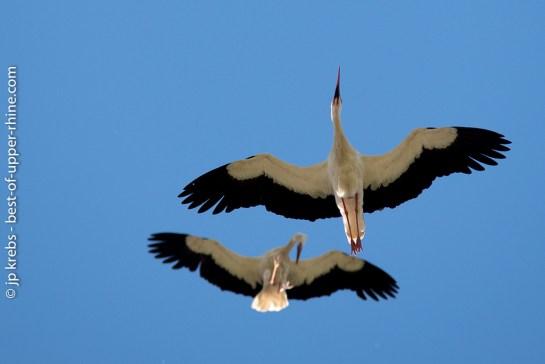 Flying parade of storks