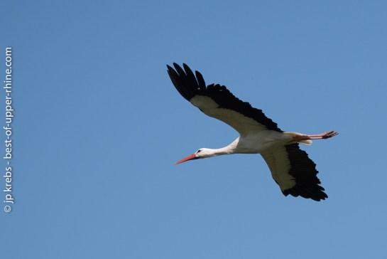 A flying stork