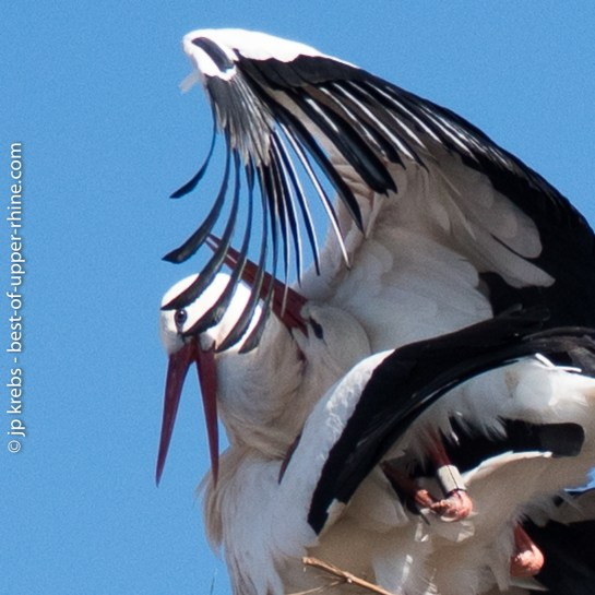 Mating of storks.