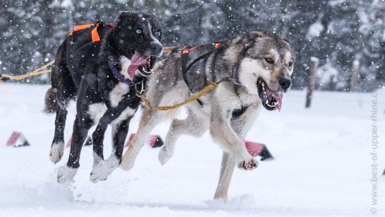 Sled dogs at the Lac Blanc race