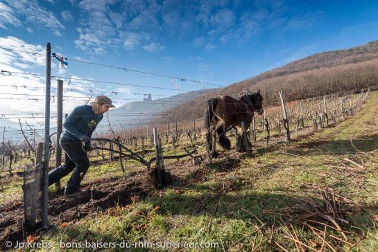 Scherwiller Rittersberg Labour de la vigne avec le cheval
