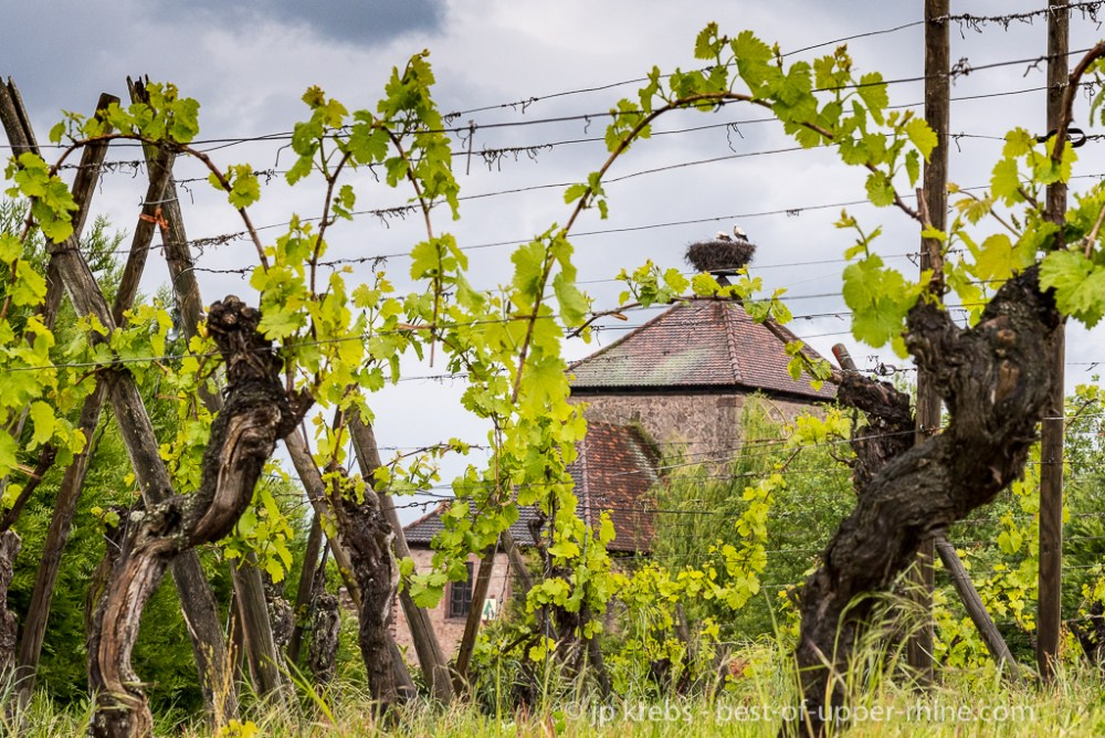 The storks, from the top of the tower of the ramparts, observe the vineyard …