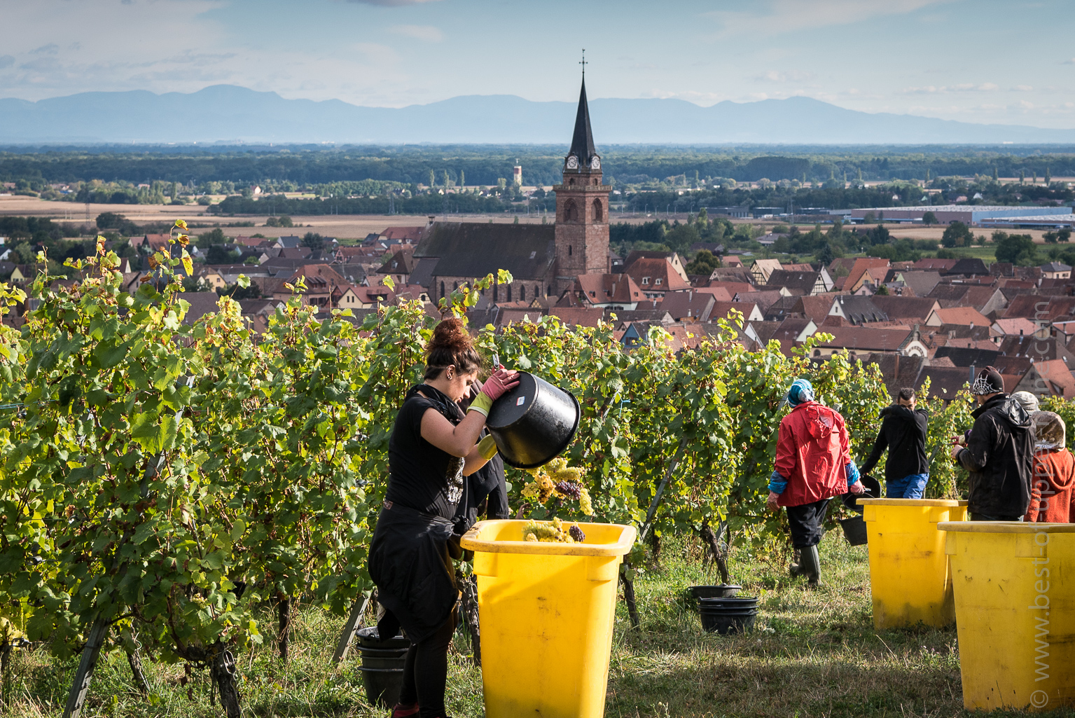 Grape harvesting in Bergheim. Black Forest in the far.