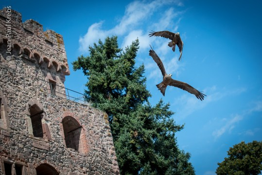 Eagles are making the show at Kintzheim castle