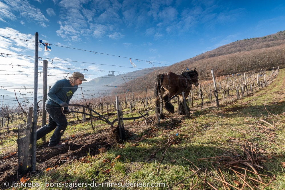 Horses are back in the organic vineyards of Alsace