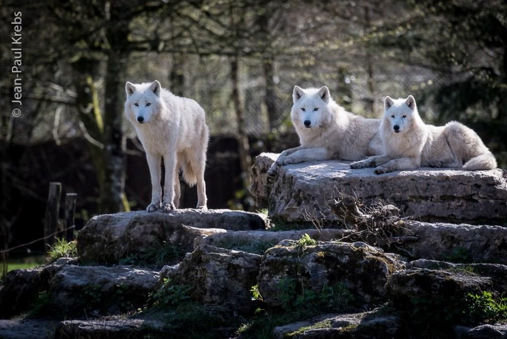 Arctic White Wolves of the Sainte-Croix Animal Park