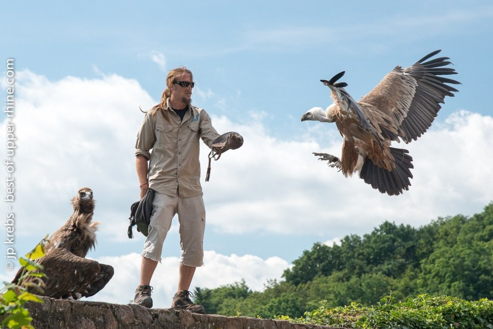 A great vulture joins his trainer. Raptors show in flight. Voltry of the Eagles in Kintzheim.