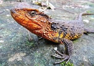 1513875297403 - Scientists discover over 100 new species, including crocodile lizard, snail-eating turtle