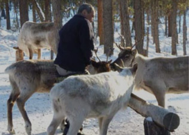 1514212374 188 10 little known facts about reindeer - 10 Little-Known Facts About Reindeer