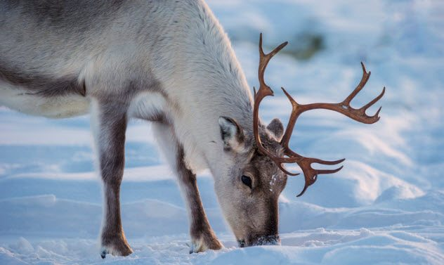 1514212374 742 10 little known facts about reindeer - 10 Little-Known Facts About Reindeer