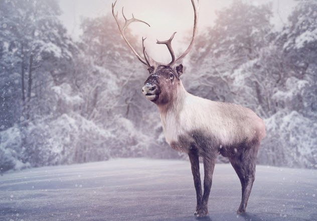 1514212374 913 10 little known facts about reindeer - 10 Little-Known Facts About Reindeer