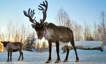 1514212377 10 little known facts about reindeer - 10 Little-Known Facts About Reindeer