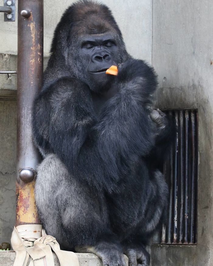 1514403496 248 people are comparing this ridiculously photogenic gorilla to george clooney and we cant handle it - People Are Comparing This Ridiculously Photogenic Gorilla To George Clooney And We Can't Handle It