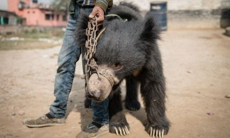 last of nepals dancing bears rescued by animal welfare group - Last of Nepal's dancing bears rescued by animal welfare group