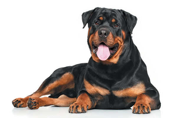 A Rottweiler sitting down with his tongue out.