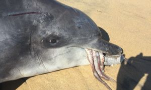 1516487929 graphic images show dolphin that choked on octopus in australia - Graphic images show dolphin that choked on octopus in Australia