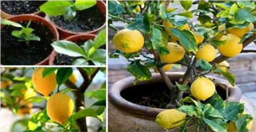easy and helpful tips on how grow unlimited lemons in your backyard hangover cure - Easy And Helpful Tips On How Grow Unlimited Lemons In Your Backyard – Hangover Cure