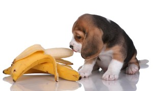 1518752966 can dogs eat bananas lets talk about bananas for dogs - Can Dogs Eat Bananas? Let's Talk About Bananas for Dogs
