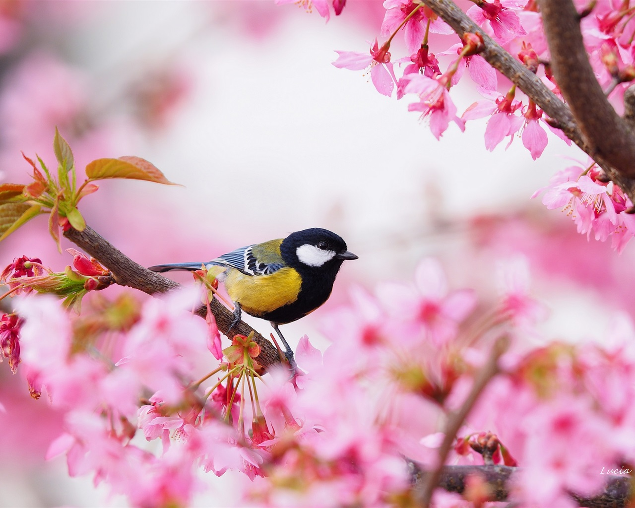 Wallpaper Sakura Pink Flowers Bird Tit Spring