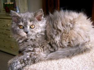 Top 10 Nuevas razas de gatos en