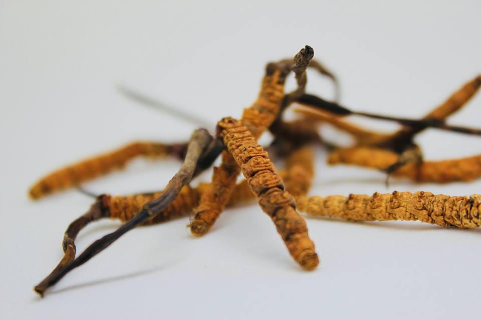 Đông trùng hạ thảo thiên nhiên Bhutan: loại đông dược quý hiếm