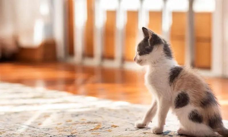 Cat in a area rug on hardwood floor