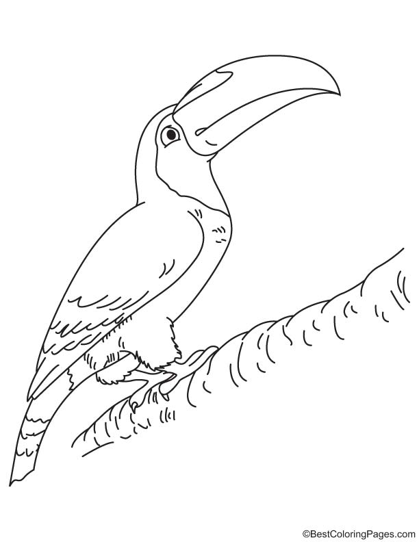 toco toucan coloring page  download free toco toucan