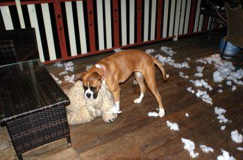 Boxer Dog Biting