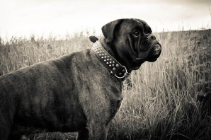 black boxer dog