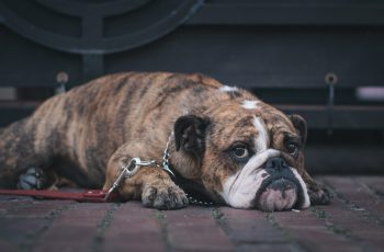 How to Help a Boxer Dog Live a Long Life