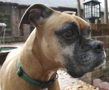 Boxer Dog Ear Mites