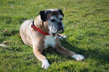 Demodectic mange in boxer dog