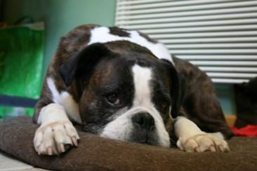 Seizures in boxer dog