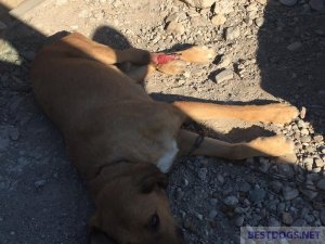 chain dog vegetating in the sun despite injuries