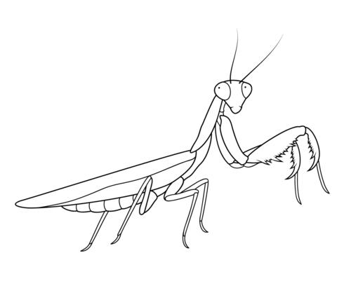 praying mantis coloring page free printable coloring pages