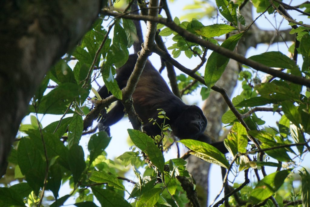 brulaap Costa Rica