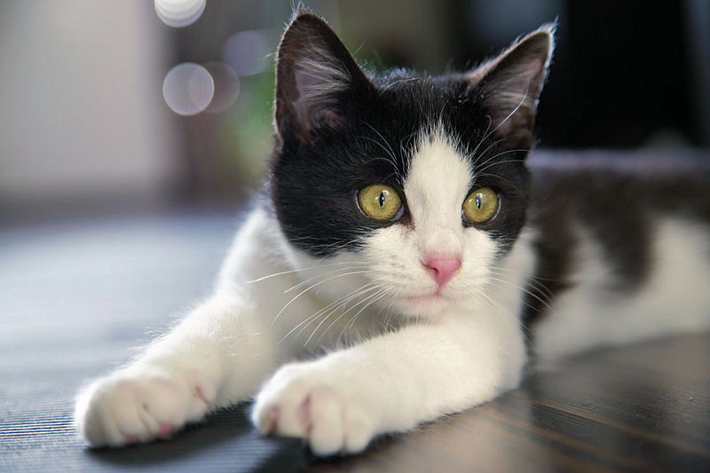 Interesting Facts about Tuxedo Cats and How They Are Best Among All Breeds