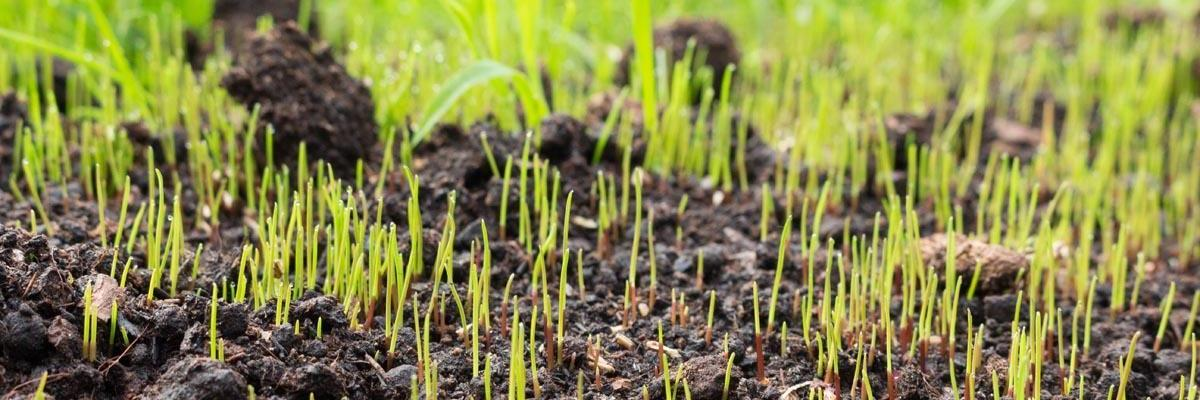 plant grass seed to patch bare spots