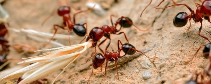How to kill fire ants | Best Home Gear