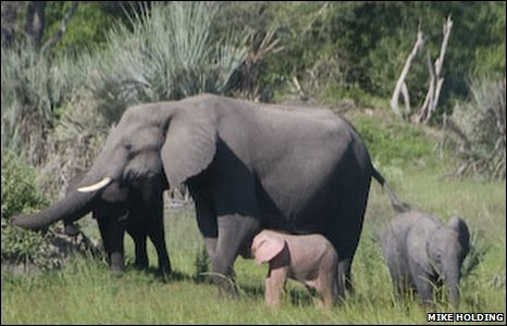 this rare pink elephant, probably an albino, was recently spotted in botswana