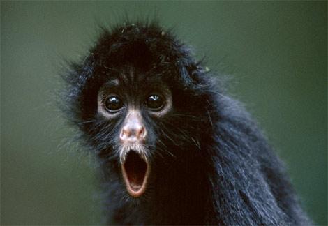 juvenile rhetoric monkey
